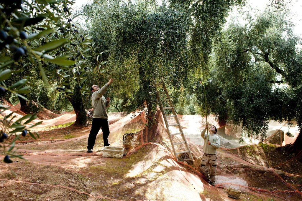 Foodiletto Oogst Olijven