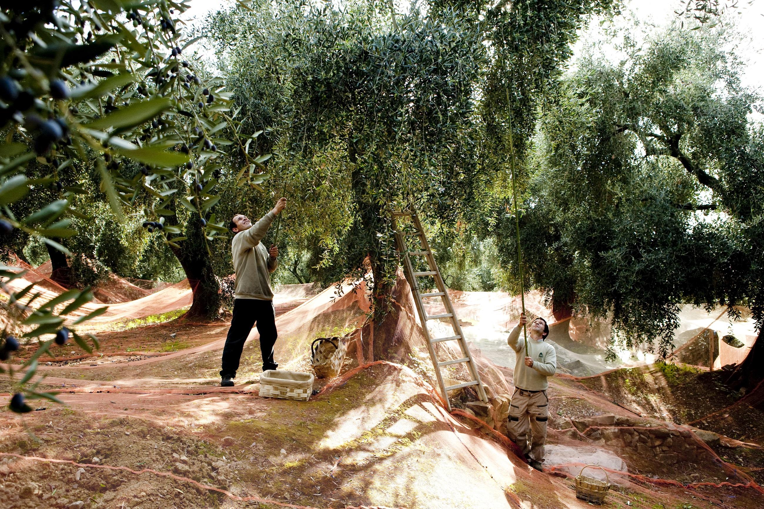 Foodiletto Harvest Olives
